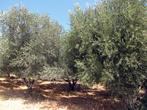 ближе к городку начались оливковые сады