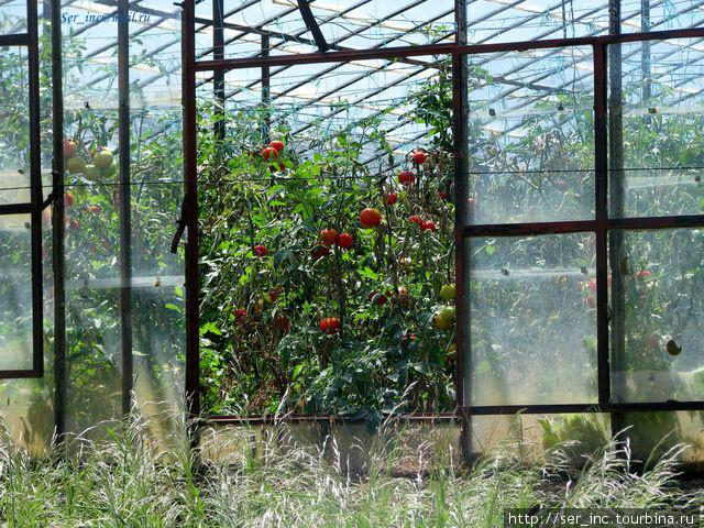 Вот такие у них в мае помидоры