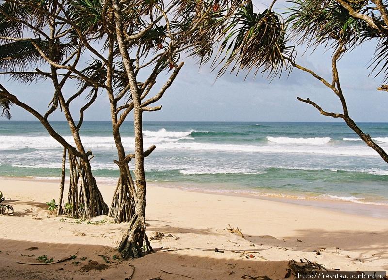 Мангры не просто шагают по песку, выбрасывая длинные корни-опоры, но и дают тень в жару, и укрепляют берег. Шри-Ланка