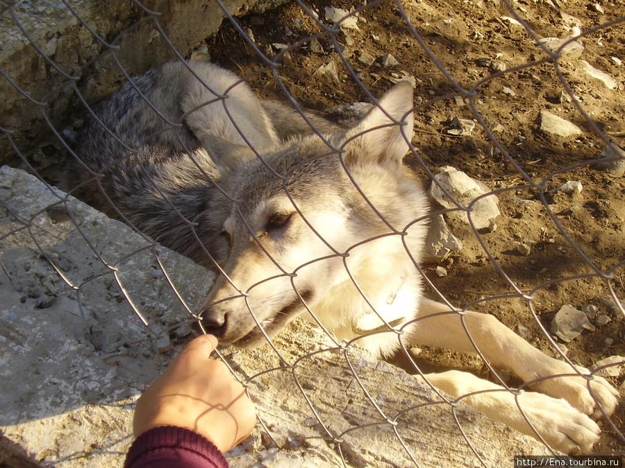 Сентябрь 2007. Экскурсия в Геленджик. Сафари-парк. Ласковый волк