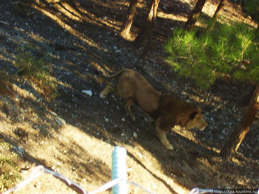 Сентябрь 2007. Экскурсия в Геленджик. Сафари-парк. А вот и царь зверей — лев