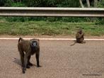 Бабуины на дороге