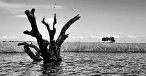 Когда то это дерево было большим.  Сейчас оно умерло, но все равно, как и раньше, продолжает оставаться пристанищем для птиц.