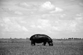 Мне было очень необычно впервые увидеть бегемота, пасущегося как корова, на поле. Они же обычно в воде или в зарослях время проводят.