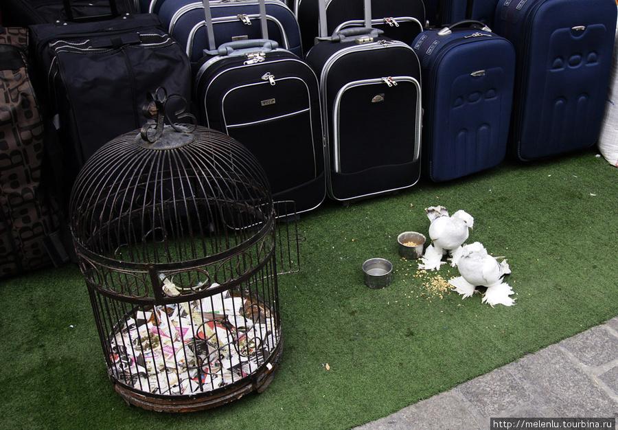 Лахмоногие голуби для привлечения покупателей