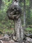 На дереве выросла «грыжа», которая, наверное, найдется в каждой фотографической коллекции таганайского путешественника. Невооруженным глазом можно рассмотреть лицо, видимо, хранителя «Таганая».