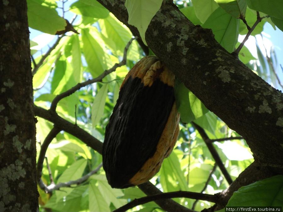Так растет какао. Там внутри находятся те самые шоколадные бобы.