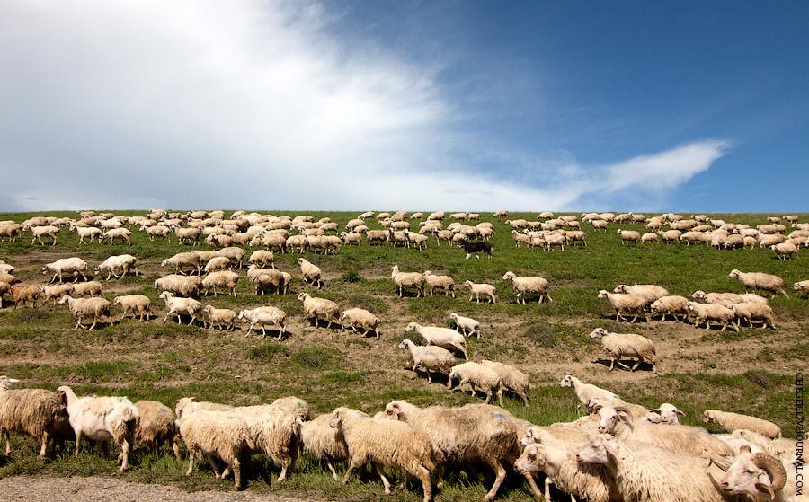 И повсеместные овцы...