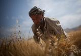 Пшеницу аккуратно срезают серпами.