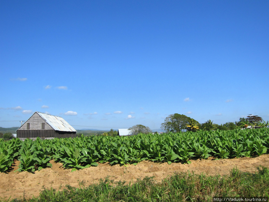 Табачные плантации по дор