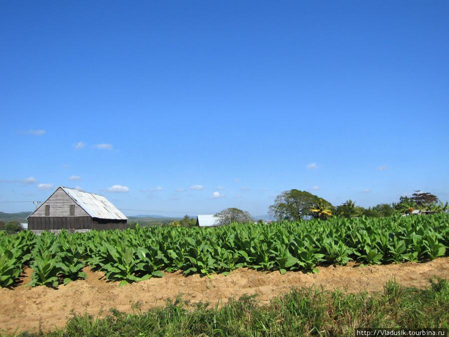 Табачные плантации по дороге