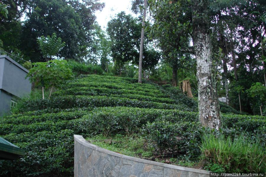 показная чайная плантация, почти на крыше магазина
