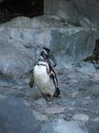 Пингвинчик готов к коктель вечеринке в смокинге.