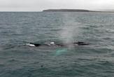 после выхода из-под воды киты делают громкое