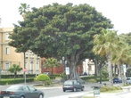 Реджо ди Калабрия. Вот такие удивительные деревья растут на набережной, обратите внимание на нижнюю перекрученую часть ствола