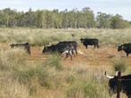 местное бычьё на прогулке, в августе участвуют в традициональных летних праздниках ( без кровопролития ).