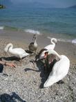 Это у них на озере вместо голубей