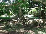 Необычное дерево в ботаническом саду Памплемуса