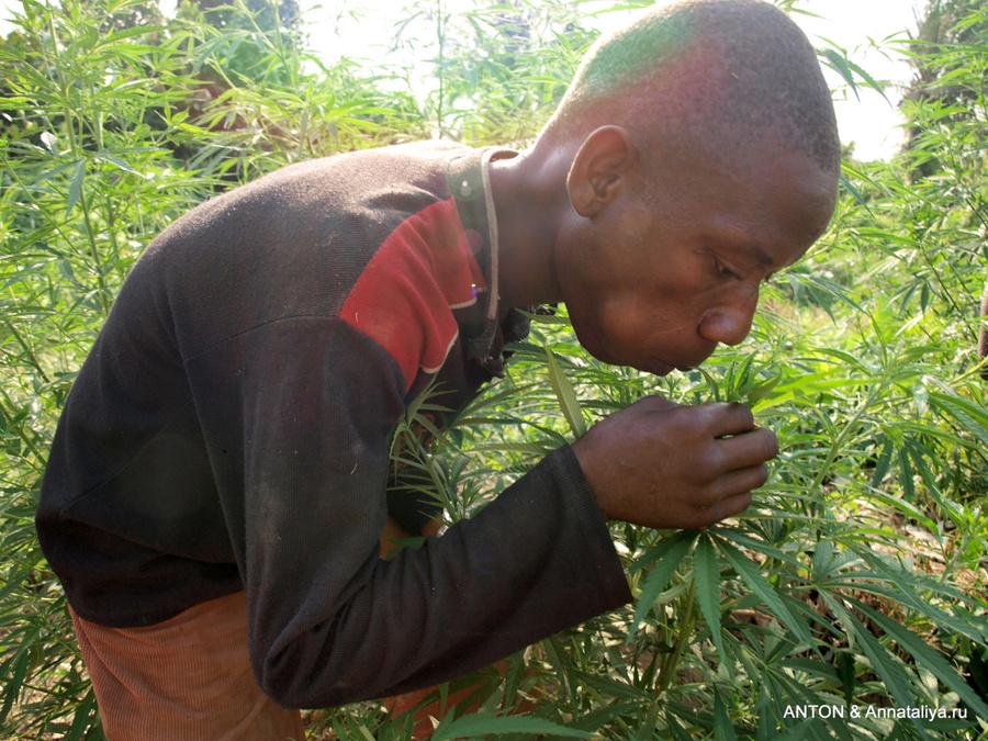 Марихуану пигмеям правительство разрешило выращивать официально