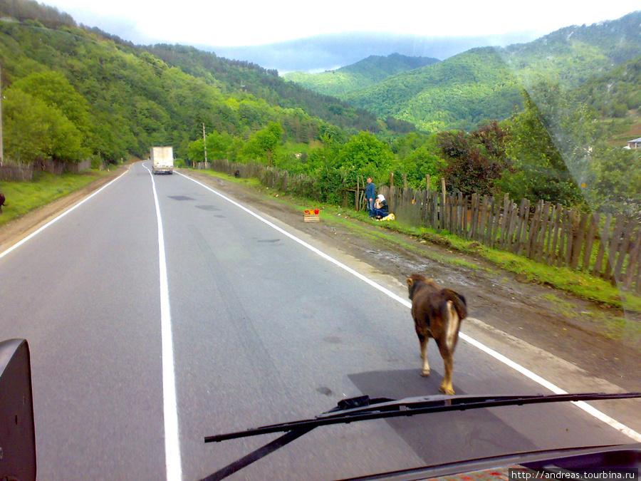 Корова — обычное явление на дорогах Грузии