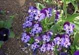 Цветы не только яркие, они еще огромны, как для своего вида