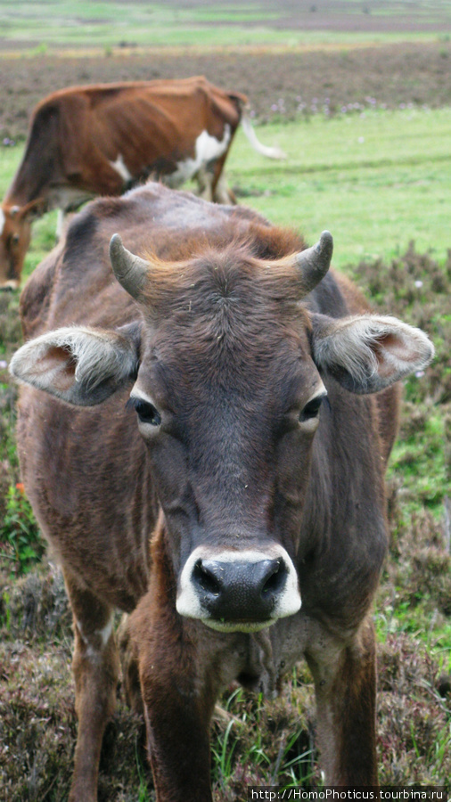 Долина Пхобжикха, бык